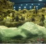 Loro Park Penguins